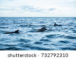 dolphins swimming in indian... | Shutterstock . vector #732792310