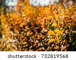 branches of cotoneaster bush... | Shutterstock . vector #732819568
