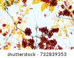red bunches of mountain ash... | Shutterstock . vector #732839353