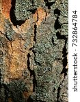 Small photo of Detail of decorative bark wood texture of broadleaf tree Sycamore maple, latin name Acer Pseudoplatanus