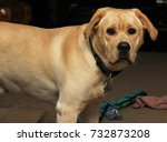 Small photo of Labrador attention face