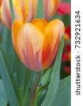 Small photo of Tulipa triumf Prinses Irene