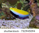 a juvenile yellow and purple... | Shutterstock . vector #732945094