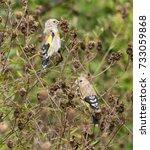 juvenile goldfinches feeding | Shutterstock . vector #733059868