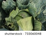 Small photo of Cabbage reached maturity and is waiting for its application