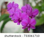dendrobium pink orchids   Shutterstock . vector #733061710