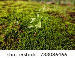 one soft tree with moss is the... | Shutterstock . vector #733086466
