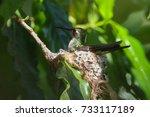 Cuban Emerald Hummingbird  ...
