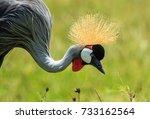 A Grey Crowned Crane