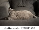 Stock photo lazy british short hair cat sleeping on a couch in a flat in edinburgh scotland with her face 733205530