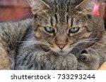 onyx the pixie bob | Shutterstock . vector #733293244