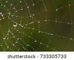 Spider Web. Dew Droplets On...
