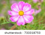 Beautiful Pink Cosmos Flower...