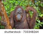 bornean orangutan on the tree... | Shutterstock . vector #733348264