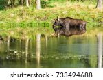 Small photo of Moose (Alces alces) bull standing in forest lake while taking a sip of water.