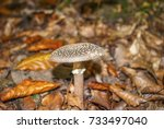 Amanita Pantherina  Also Known...