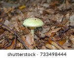 Small photo of Known as the false death cap, or Citron Amanita, Amanita citrina (previously also known as Amanita mappa), is a basidiomycotic mushroom. Fighting its way out of leaves. Toxic mushroom!