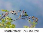 blackberry is an edible fruit... | Shutterstock . vector #733551790
