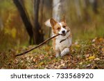 Stock photo welsh corgi cardigan in leaves 733568920