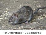 The Common Rat Feeding In...