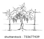 vineyard   grape on the trellis ... | Shutterstock .eps vector #733677439