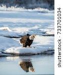the shouting bald eagle  ... | Shutterstock . vector #733701034