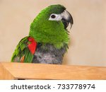 hahn's macaw parrot with over... | Shutterstock . vector #733778974