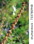 Small photo of The herbal plant common agrimony Agrimonia eupatoria with dry seeds