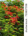 Small photo of Close up of the Royal poinciana flowers and leaves also know as the Flame tree or Flamboyant tree.