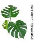 heart shaped green leaves of... | Shutterstock . vector #733861258