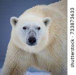 Polar bear looks straight at camera