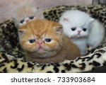 Stock photo three little exotic shorthair kittens red tabby cream and white 733903684