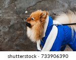 the wear  aggressive spitz dog... | Shutterstock . vector #733906390