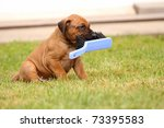 Stock photo ridgeback puppy playing with broom 73395583
