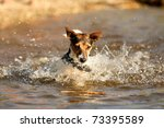 Playing Jack Russell Terrier I...