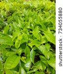 tea leaf   tea is a drink that...   Shutterstock . vector #734055880