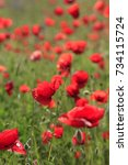 red poppies on a green meadow | Shutterstock . vector #734115724