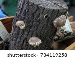 Small photo of Mushrooms Shiitake grown on oak logs on a farmers market on the street. Bioproduct cultivation in natural environment. Selective focus