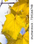 Small photo of Leaf of Norway Maple or Acer platanoides, in autumn close-up against sunlight with bokeh, selective focus, shallow DOF.
