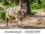 eurasian wolf a subspecies of...   Shutterstock . vector #734307094