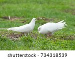 Pair Of Doves Looking For Food...