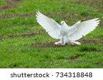 White Beautiful Pigeon With...