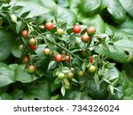 ruscus aculeatus  known as... | Shutterstock . vector #734326024
