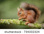 the now rare and endangered red ... | Shutterstock . vector #734332324