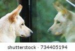 Small photo of Reflection on the glass of my East Siberian Laika dog, Malinki.