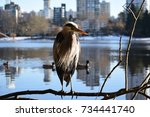 great blue heron resting in the ... | Shutterstock . vector #734441740