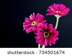 Small photo of Pink color of African daisy./ African daisy.