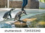 feeding time for penguins at an ...   Shutterstock . vector #734535340