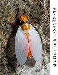 Small photo of cicada molting process shedding it's exoskeleton