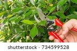 Man Cutting A Ficus Annulata...